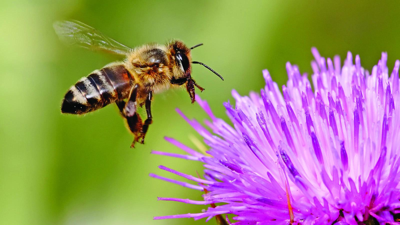 <h4>SAVE THE BEES</h4><h5>Goal: To stem the alarming decline in bees and other pollinator species, 让我们停止使用新烟碱类杀虫剂来杀死蜜蜂.</h5><em>sheliapic76 via Flickr</em>